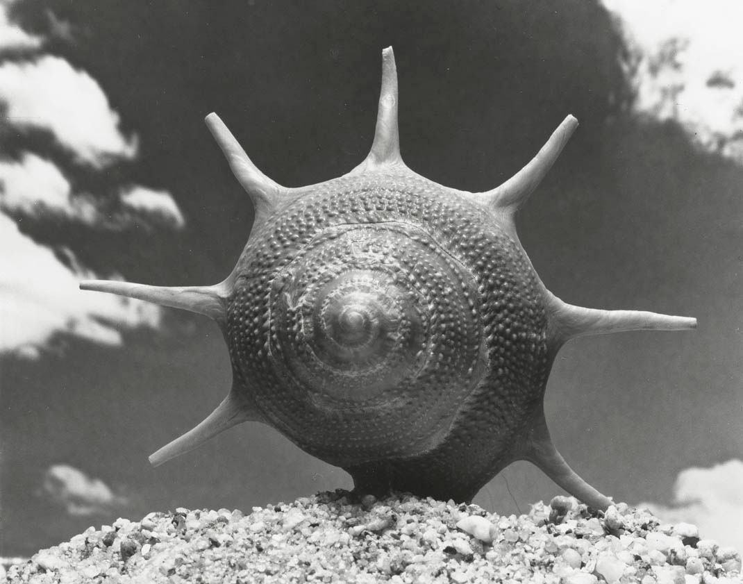Andreas Feininger, Triumphant Star Shell (Guildfordia triumphans Philippi)